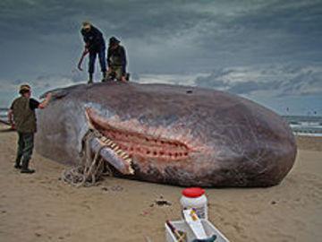 220pxdirk_claesen__sperm_whale